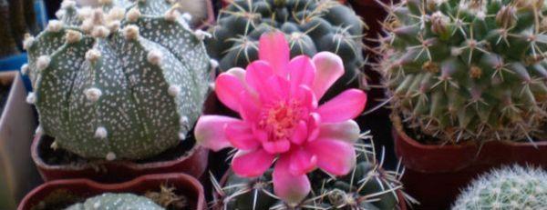 Добро или лошо да пазите кактуси в знаците на дома и реалните факти