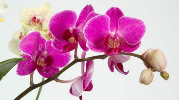 Как да се грижи за орхидея в саксия след цъфтене практически съвети