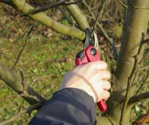 Когато пролетта е най-добре да скъсате ябълковите дървета в градината и защо отговорите на въпросите