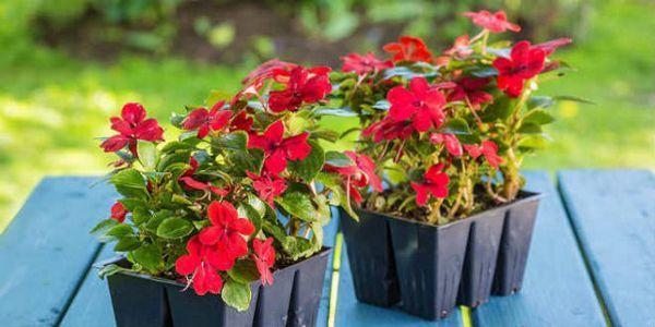 Времето, което е най-добре да посее разсад на цветя в лунния календар